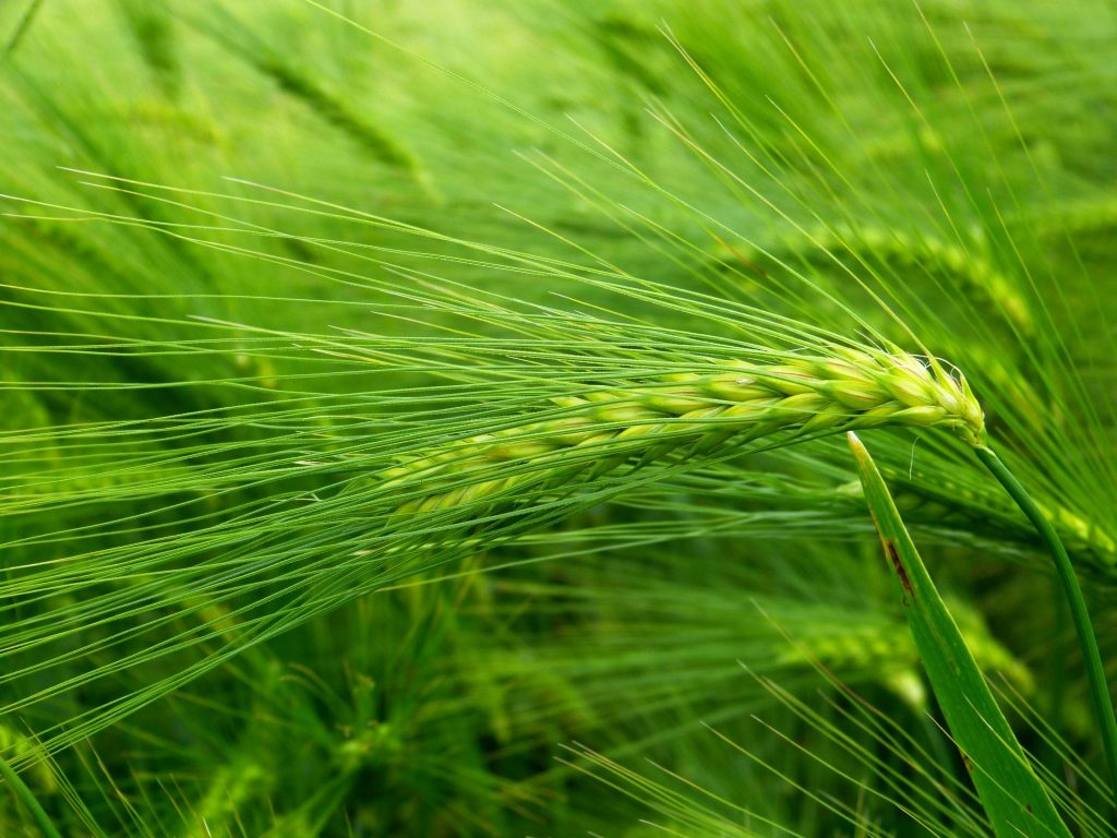 nature-grass-plant-field-barley-wheat-925104-pxhere.com